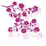 Twig cherry blossoms Stock Photography