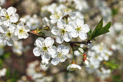 Twig of cherry blossoms in spring garden Stock Images