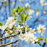 Twig of cherry blossoms Stock Photo