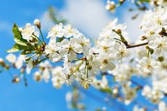 Twig of cherry blossoms and white cherry flowers Stock Image