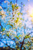 Twig of cherry tree with blossoming flowers floral Royalty Free Stock Photos