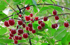 Twig of cherry-tree with red cherries Stock Photo