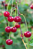 Twig of cherry-tree with red cherries stock photography