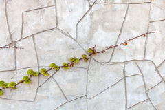 Twig of climbing plant on concrete wall Royalty Free Stock Photo