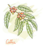 Twig of coffea. Watercolor style. Royalty Free Stock Photography