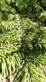 Twig of coniferous spruce. zoom perspective. Coniferous forest green branch sun midday spring summer fresh DOF background wallpaper bright Stock Image