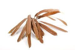 Twig Containing Cluster of Brown Elongated Seed Pods Royalty Free Stock Image