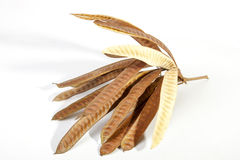 Twig Containing Many Closed Elongated Seed Pods Royalty Free Stock Images