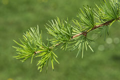 Twig of Dahurian Larch Royalty Free Stock Photo