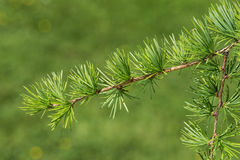 Twig of Dahurian Larch Stock Image