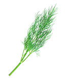 Twig of dill Royalty Free Stock Photo