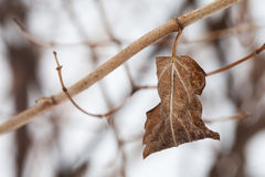 Twig with dried leaf. Autumn nature landscape. Royalty Free Stock Image