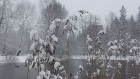 Twig. Dry twig with snow, snow falls stock video footage