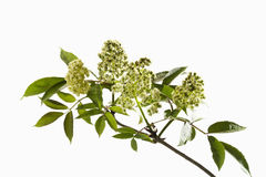 Twig of elder with blossoms Stock Images