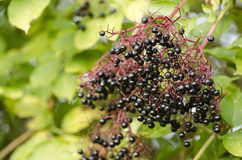 Twig of elderberry with ripe fruits Stock Image