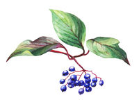Twig  of elderberry sambucus nigra plant  with autumn leaves and black berries. Stock Photo