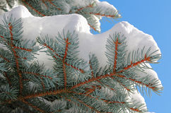 Twig of an European silver fir snow covered Royalty Free Stock Photography