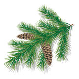 Twig of evergreen with cones Royalty Free Stock Images
