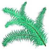 Twig of evergreen. Fir on white. Vector clip-art Royalty Free Stock Image