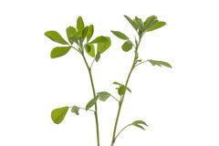 Twig of Fenugreek Royalty Free Stock Photo