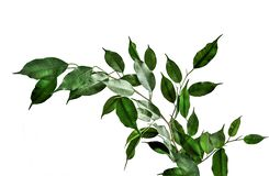 Twig of Ficus benjamina with green leaves isolated on white background. Twig of Ficus benjamina with green cuspidal leaves isolated on white background. Ficus stock image