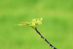 Twig with fig leaves Royalty Free Stock Images
