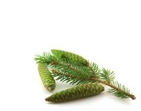 Twig of fir-tree with green cones. Stock Photos