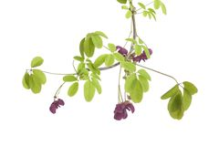 Twig of flowering Akebia Stock Photography