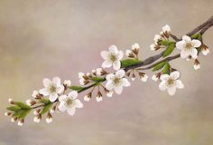 Twig of flowering cherry blossoms for decoration. Illustration of a twig of flowering cherry blossoms for decoration on a pink background Stock Photography