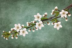 Twig of flowering cherry blossoms for decoration. Illustration of a twig of flowering cherry blossoms for decoration on a turquoise background Royalty Free Stock Photos