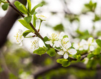 Twig flowering tree closeup 2 Stock Photography