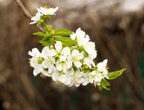 Twig flowering tree closeup 3 Royalty Free Stock Images