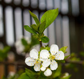 Twig flowering tree closeup 4 Stock Photography
