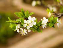 Twig flowering tree closeup Royalty Free Stock Photo