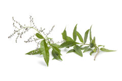 Twig of flowering verveine Stock Photo