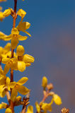 Twig of Forsythia. A single forsythia twig with its yellow flowers Royalty Free Stock Images