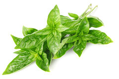 Twig fresh basil Stock Photo