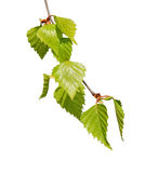 Twig with fresh birch leaves Royalty Free Stock Photos