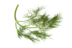 Twig of fresh dill Stock Photography