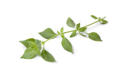 Twig of fresh lemon basil Stock Photography