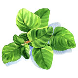 Twig of fresh oregano leaves , watercolor illustration Royalty Free Stock Photography