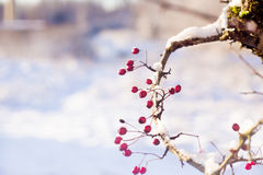 Twig with frosted hawthorn berries Royalty Free Stock Photography