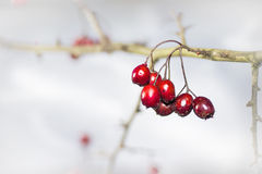 Twig with frosted hawthorn berries. In the garden in winter Stock Photo