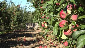 Twig full of red fruits and red apples under orchard tree in autumn. 4K stock footage