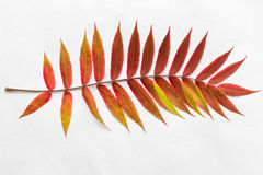 Twig with gradient autumn red leaves Royalty Free Stock Photo