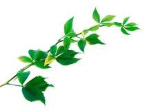 Twig of grapes leaves (Parthenocissus quinquefolia foliage) Royalty Free Stock Photos