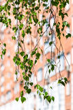 Twig of green birch tree and urban house Stock Photos