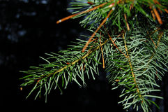 Twig. Green twig of the fir Stock Images