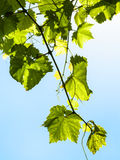 Twig with green grape leaves and blue sky Royalty Free Stock Photos