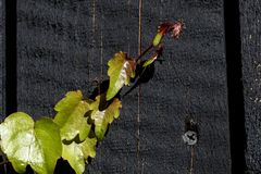 A twig of green ivy climbing the black wooden door royalty free stock photography